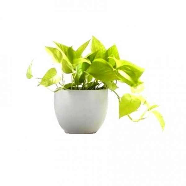 Money Plant Golden in White Square Fiber Pot