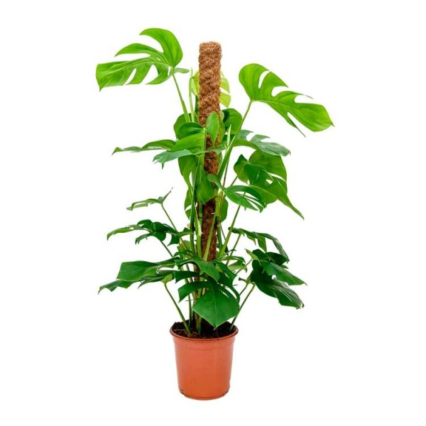 Monstera Deliciosa Plant - Swiss Cheese Plant with Moss Stick