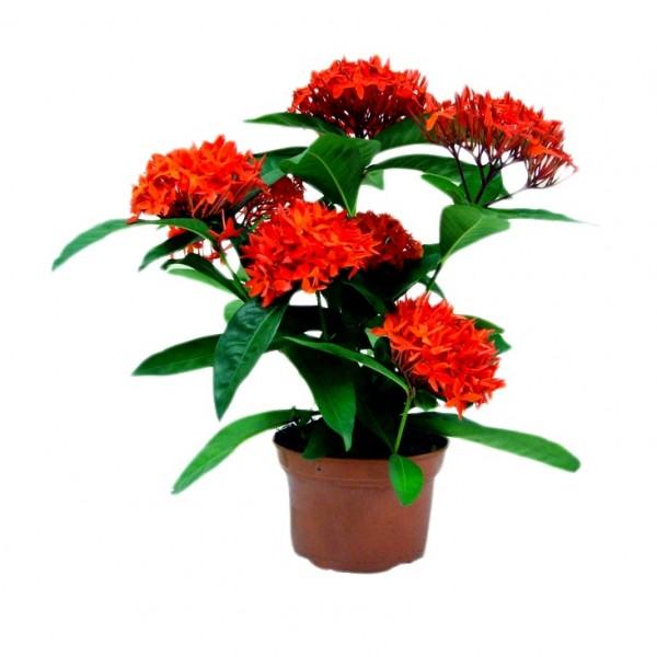Ixora Dwarf Red Plant