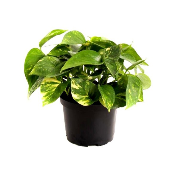 Money Plant - Golden Pothos, Devil ivy