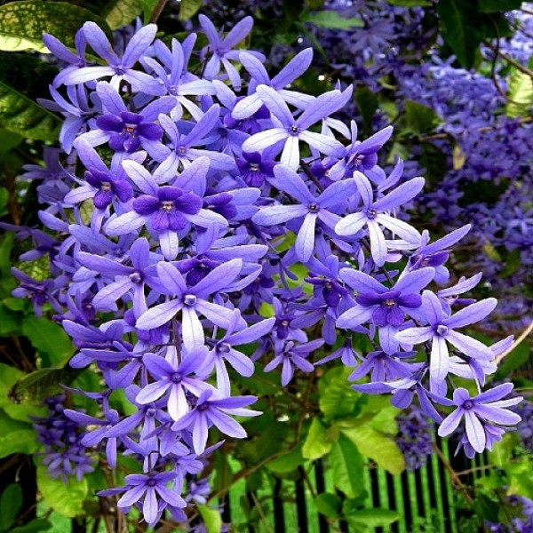 Petrea Volubilis, Purple Wreath, Sandpaper vine flower Plant