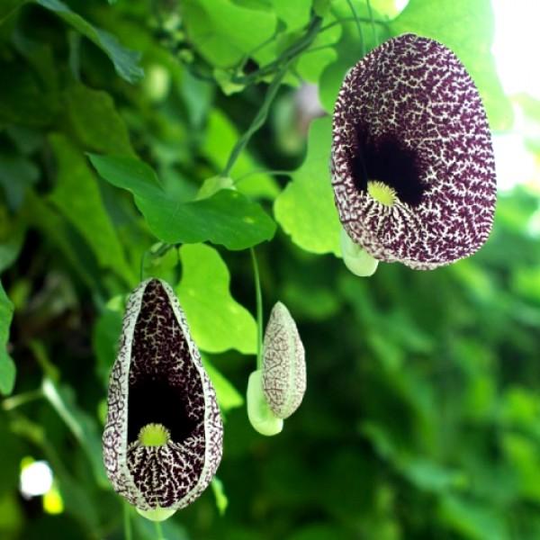 Aristolochia Elegans Plant - Duck Vine, Duck Flower Plant
