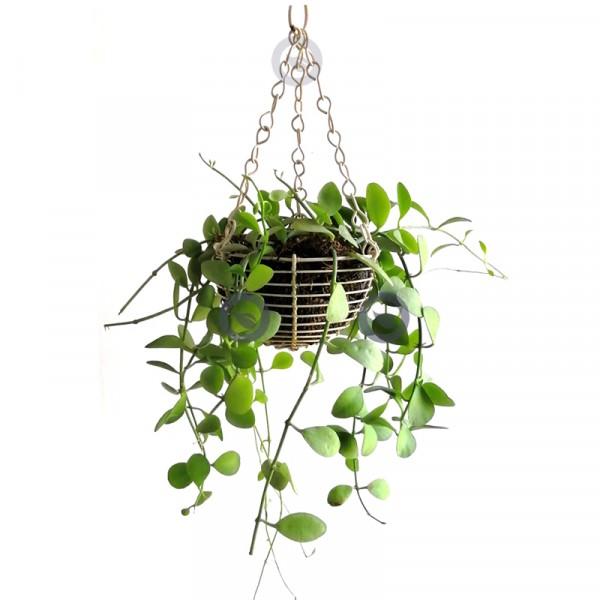 Dischidia Milnei Hanging - Apple Leaves Plant