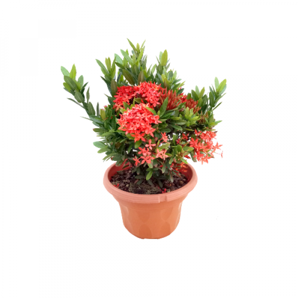 Ixora Mini Dwarf Orange Plant