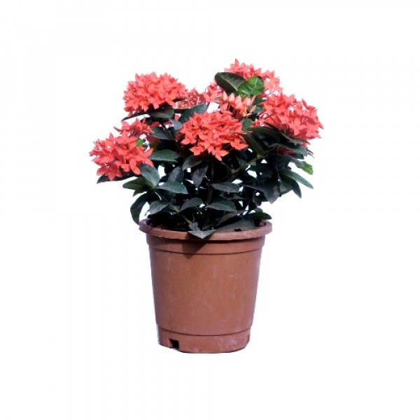 Ixora Dwarf Orange Flower Plant