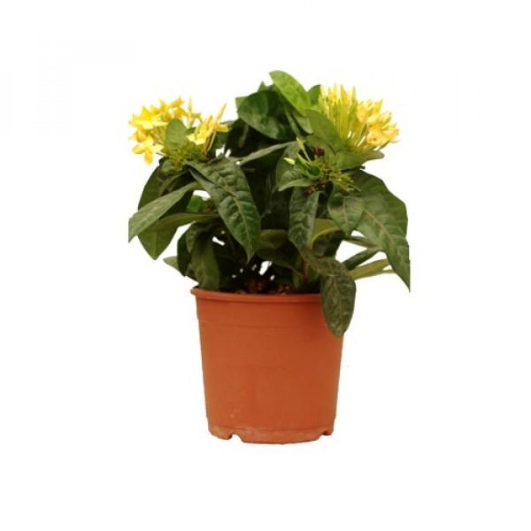 Ixora Dwarf Yellow Plant