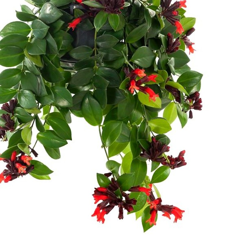 Buy Lipstick Vine Plant Online India At Best Price On Plantsguru Com