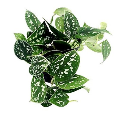 Philodendron Heart Leaf Silver - Oxycardium Silver