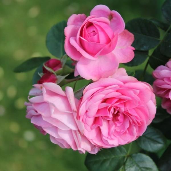 Scented Rose Plant - Gawathi Gulaab Plant