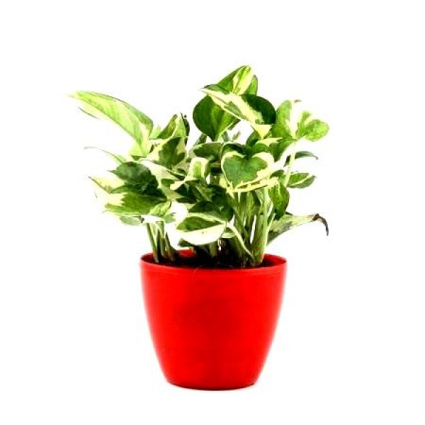 Money Plant Variegated with Red Fiber Pot - Scindaspus Plant