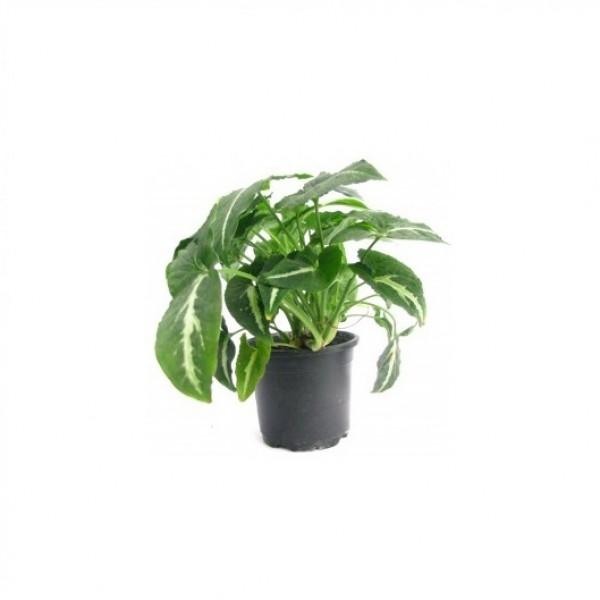 Syngonium Black - Arrowhead Vine, Arrowhead Plant, Syngonium podophyllum
