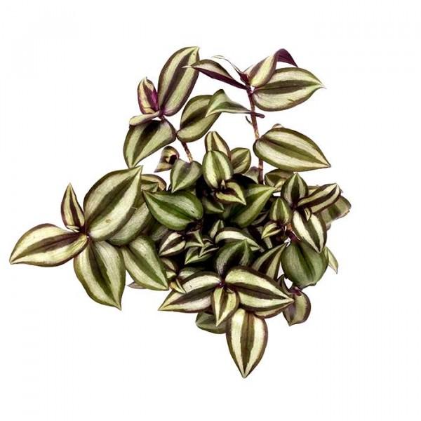 Zebrina Pendula Plant - Tradescantia Zebrina, Wandering Jew