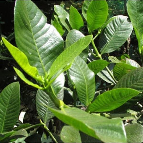 Hing Plant - Asafoetida, Gardenia Gummifera