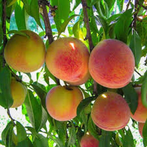Peach Plant - Prunus Persica