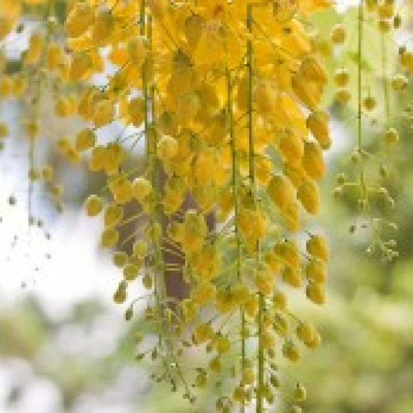Golden Shower - Cassia Fistula