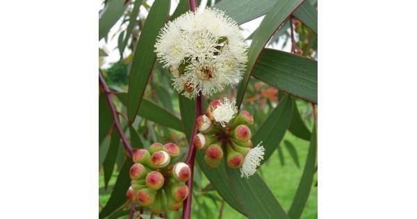 Buy Neelgiri Plant (Eucalyptus) online at cheap price on