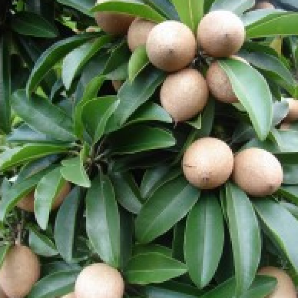 Chikoo, Chiku, Sapota (Grafted) Fruit Plant