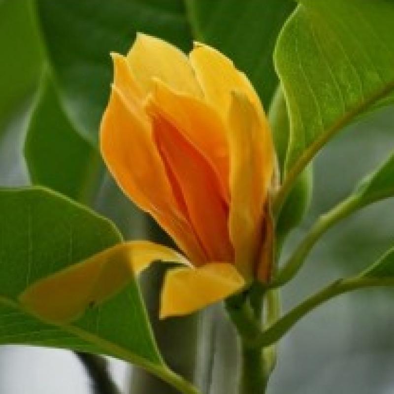 Buy Son Chafa Michelia Champa Orange Flower Plant Online