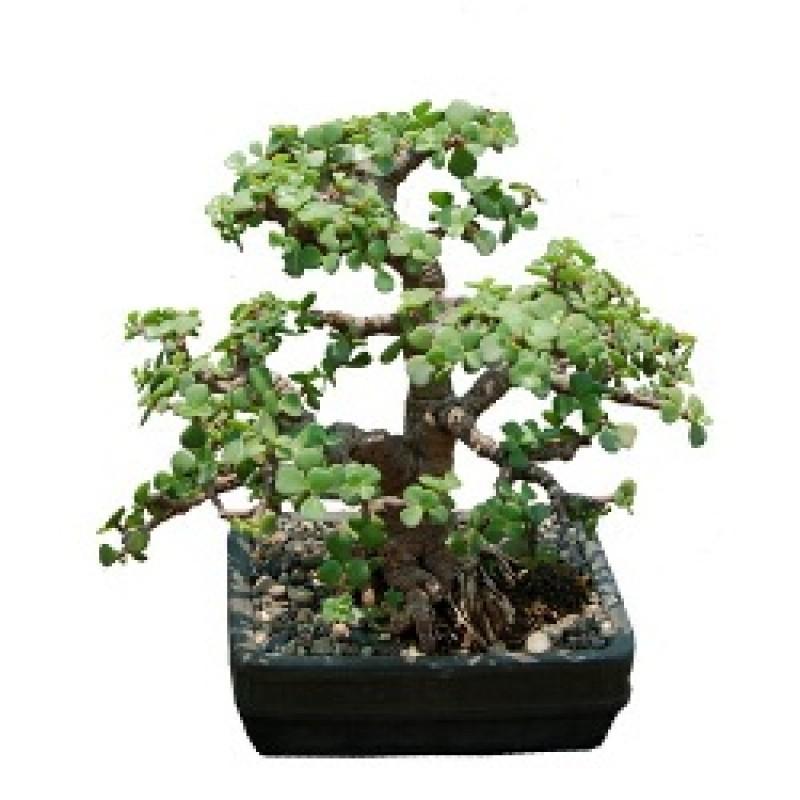 Jade Plant Bonsai Tree 7 Year Old Plant Buy Online At Plantsguru Com