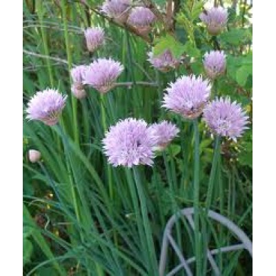 Omaxe Chives Herb Seeds