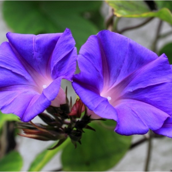 Morning Glory - Ipomea Blue