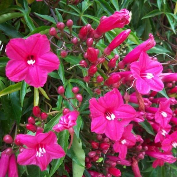 Morning Glory - Ipomea Pink, Cardinal Creeper, Ipomoea Horsfalliae