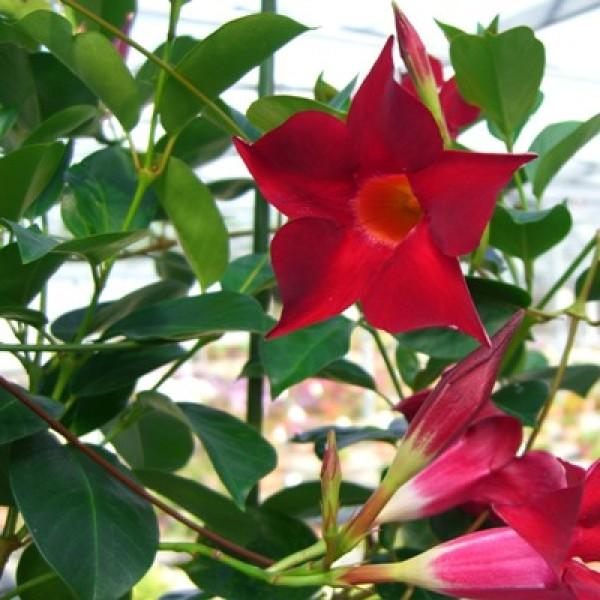 Mandevilla Maroon Plant
