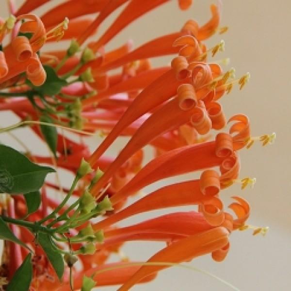 Sankrant Vel - Pyrostegia Venusta, Flame Vine, Venusta Creeper