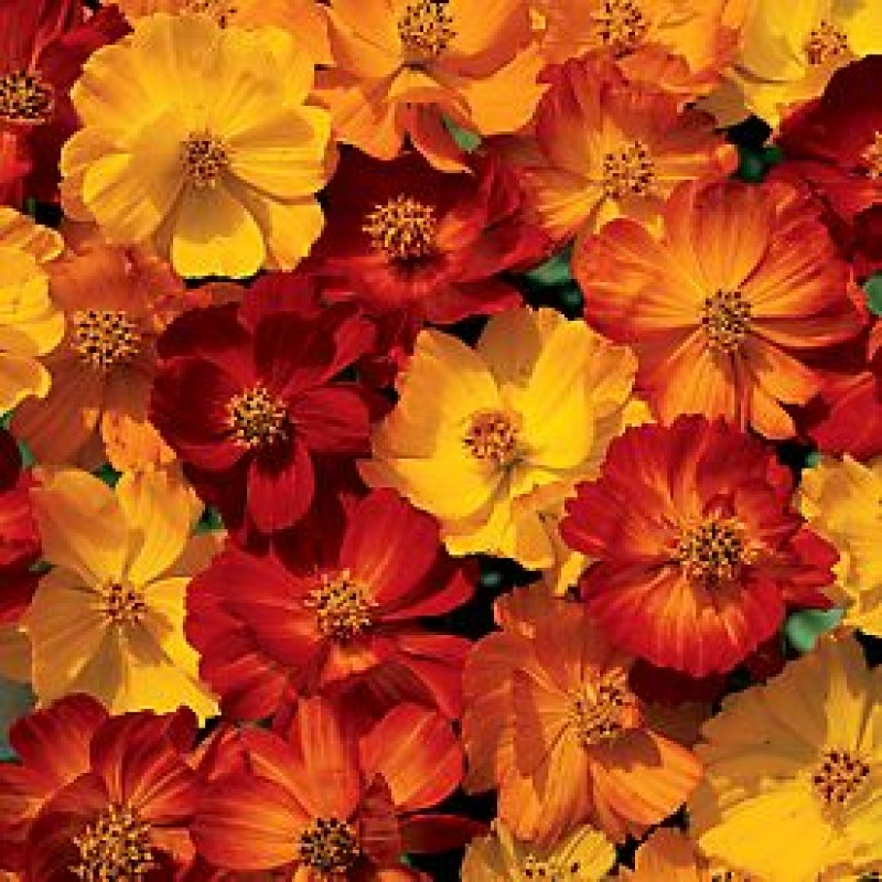Buy Cosmos Seeds Bright Light Mixed Online India At
