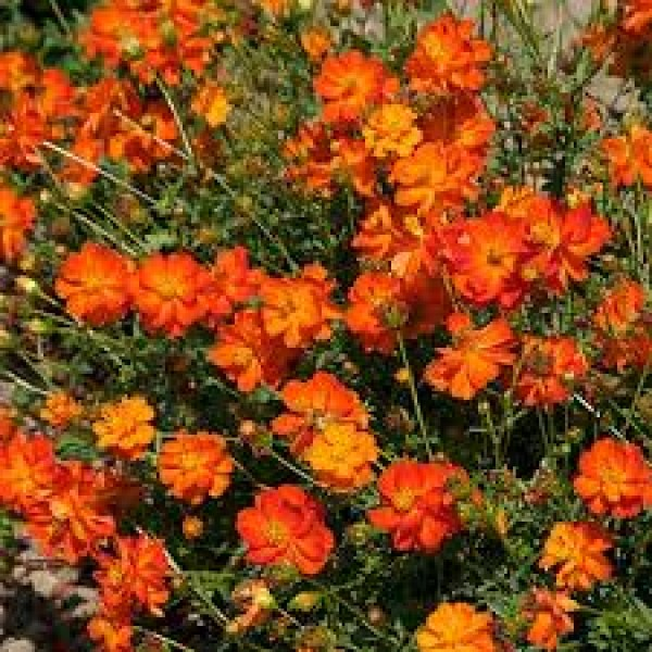 Omaxe Cosmos Bright Light Orange Seeds
