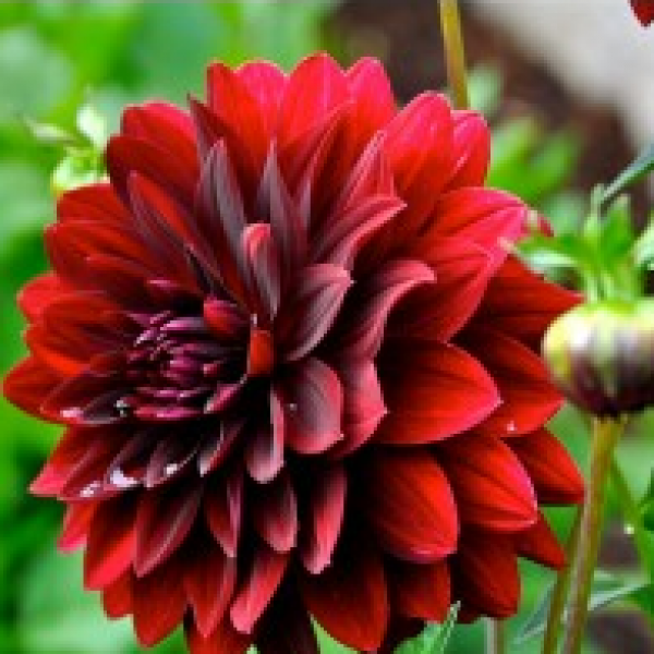 Omaxe Dahlia Seeds (Mixed, 50 Seeds)