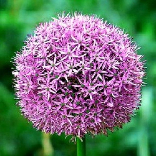 Allium Bulbs - 3 Bulbs