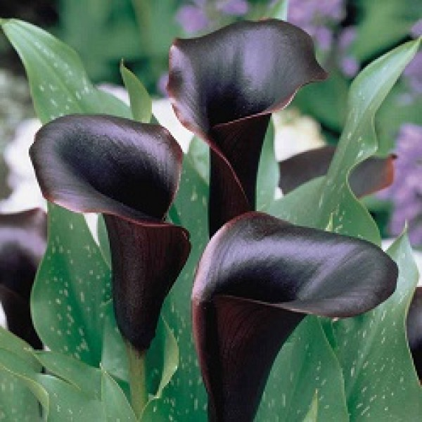 Calla Lily bulbs (Black, 4 bulb)
