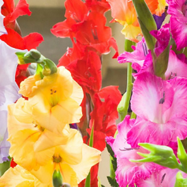 Gladiolus Mix - 6 Bulbs