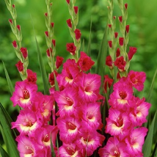 Gladiolus Pink White - 6 Bulbs