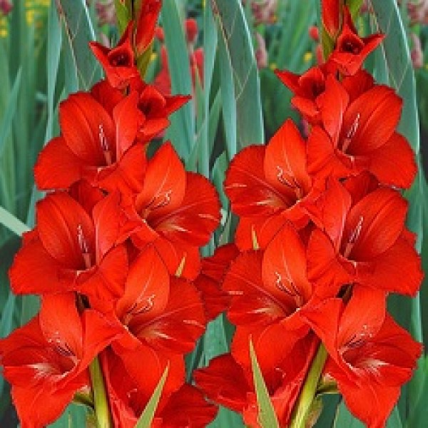 Gladiolus Red - 6 Bulbs