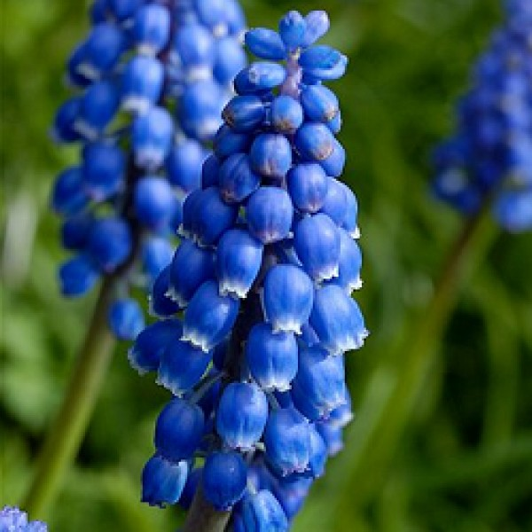 Muscari Armeniacum Blue - Grape Hyacinth (3 Bulbs)