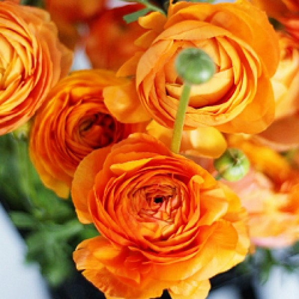 Ranunculus Bulbs (Orange, 3 Bulb)