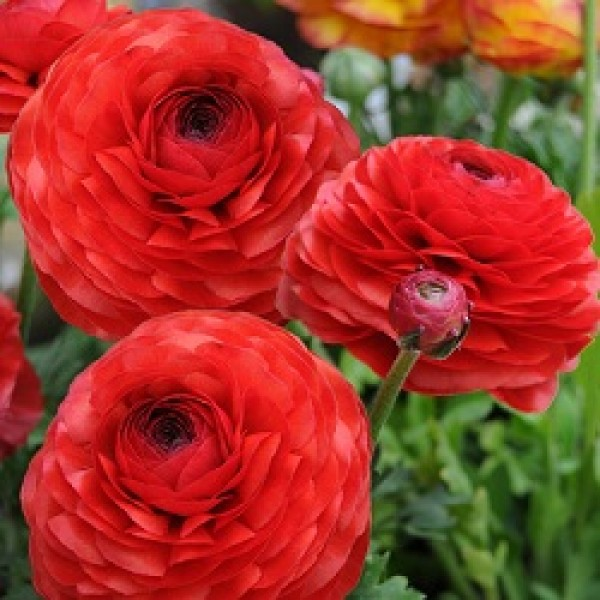 Ranunculus Bulbs (Red, 3 Bulb)