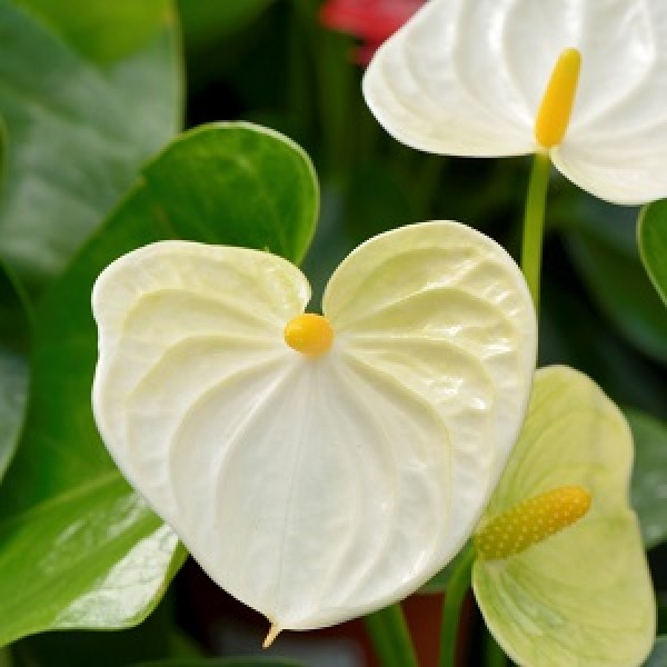 Anthurium White - Flamingo Flower, Laceleaf, Tailflower Plant
