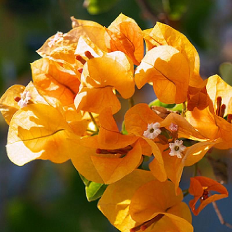 Buy Bougainvillea Yellow Flower plant online at plantsguru.com