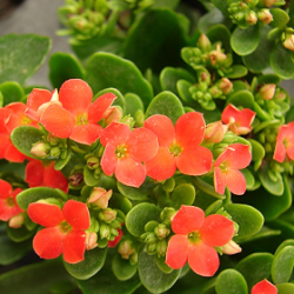 Calanchchu Orange - Kalanchoe Plant
