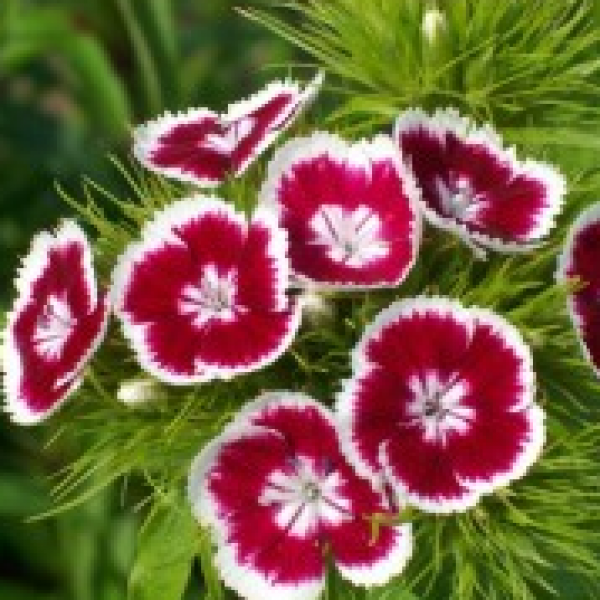 Dianthus Red White Plant