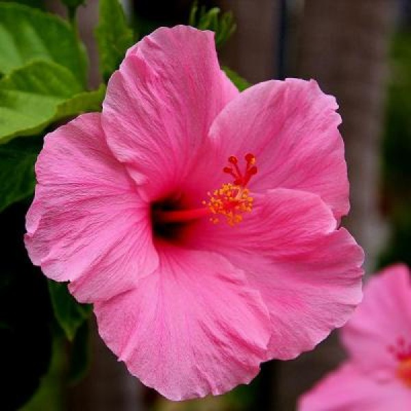 Hibiscus Pink Plant - Jaswand, Gudhal