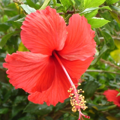 Hibiscus Red Plant - Jaswand, Gudhal