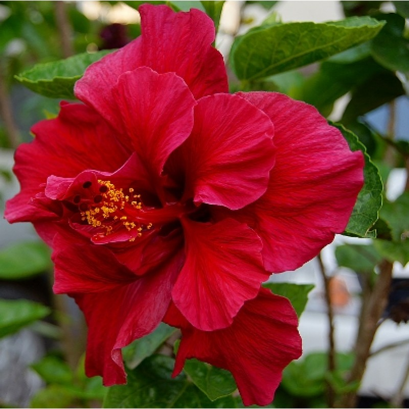 Buy Hibiscus Jaswand Red Double Plant Online India At Plantsgurucom