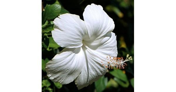 Buy Hibiscus White online at cheap price at plantsguru.com
