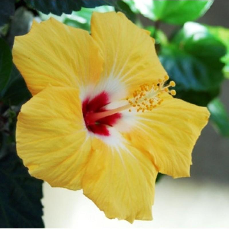 Buy Hibiscus Jaswand Yellow Plant Online India At Plantsgurucom