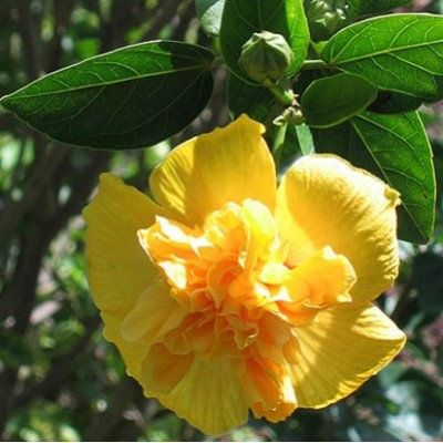 Hibiscus Yellow Double plant - Jaswand, Gudhal