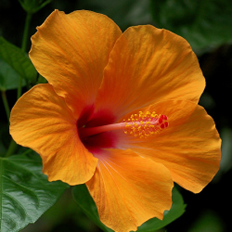 Buy Hibiscus Jaswand Orange Plant Online India At Plantsgurucom